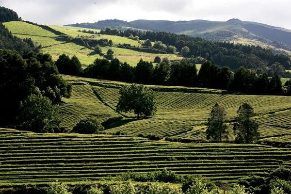 plantação e produção do Chá dos Açores