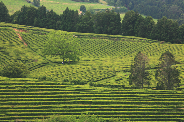 Top Azores: Conheça mais sobre a plantação e produção do Chá dos Açores