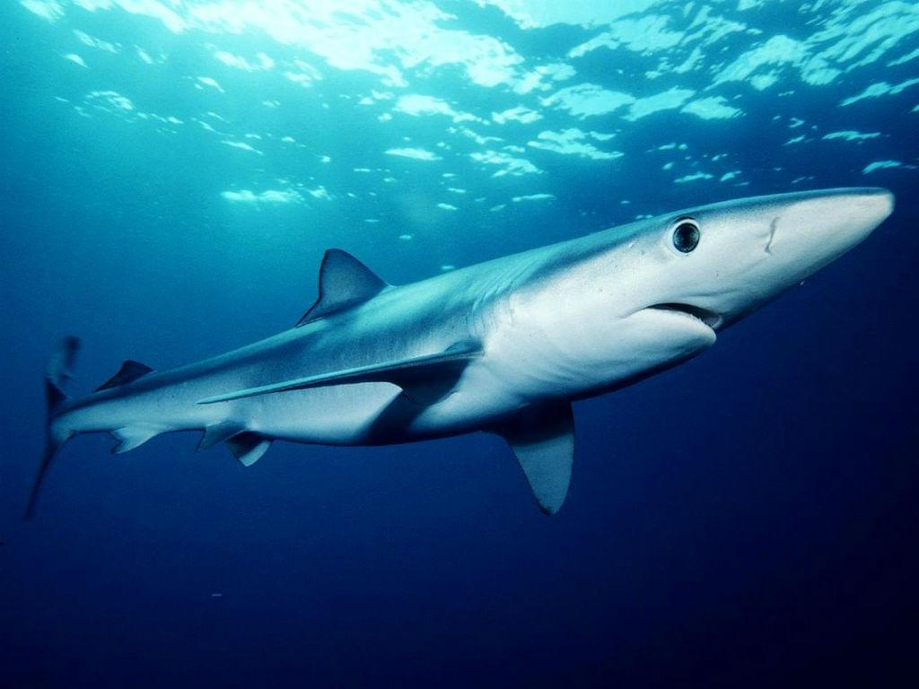 Guia dos Tubarões de Profundidade dos Açores