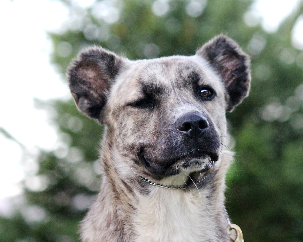10 coisas que não sabias sobre o Cão de Fila de São Miguel! – Top Azores